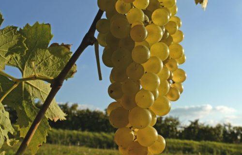 Grappe de raisin Cognac Haute-Saintonge