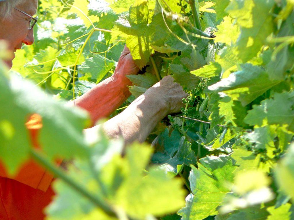 Vinge Haute-Saintonge